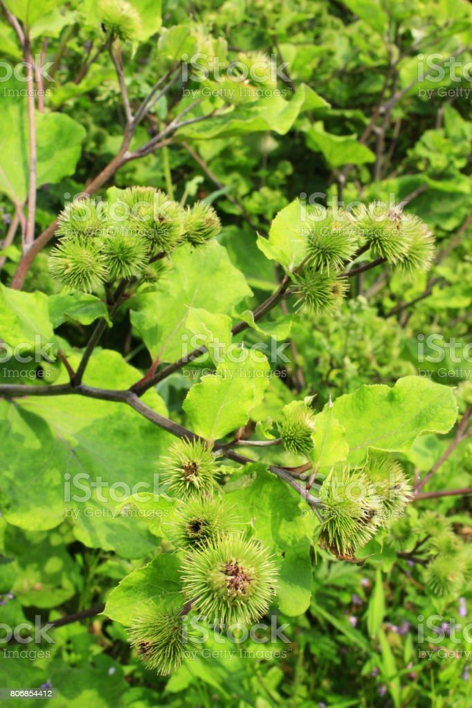 flowers, fruits of burdock, agrimony in summer stock photo