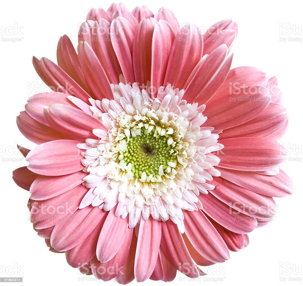 Flowers gerbera stock photo