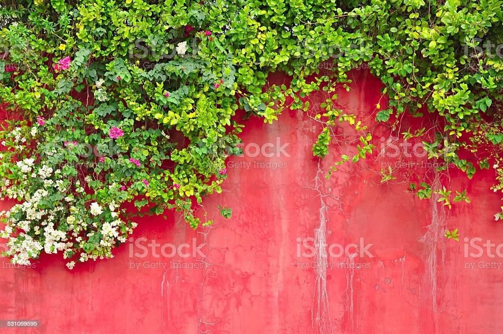 & Grün Efeu Pflanzen Blumen auf alten farbigen Betonwand – Foto