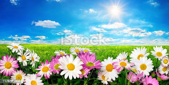 Marguerite Flowers, fresh green meadow and vibrant blue sky with the bright sun