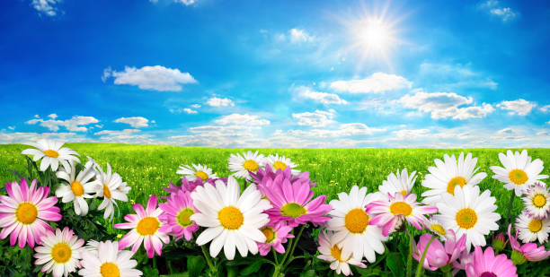 Flowers, green meadow and blue sky with the sun stock photo