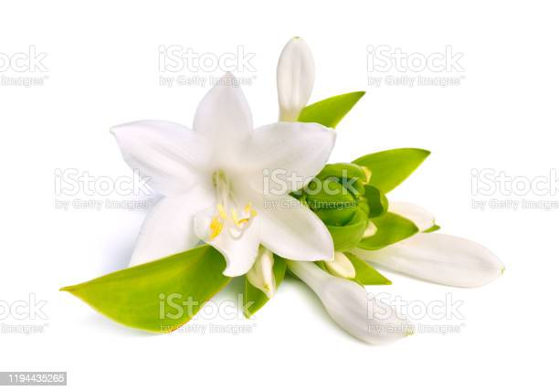 Flowers hosta plantaginea isolated on white background picture id1194435265?b=1&k=6&m=1194435265&s=612x612&h=t1rs yvqr5b3b zf4yns1ppib0ovct dqw vuahqne8=