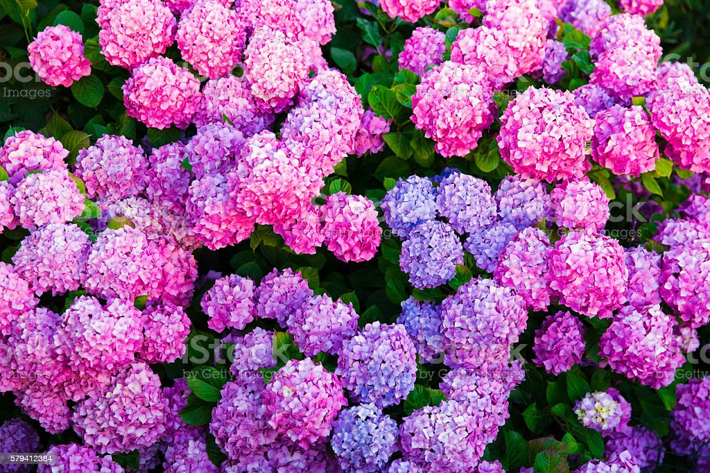 flowers  hydrangea stock photo