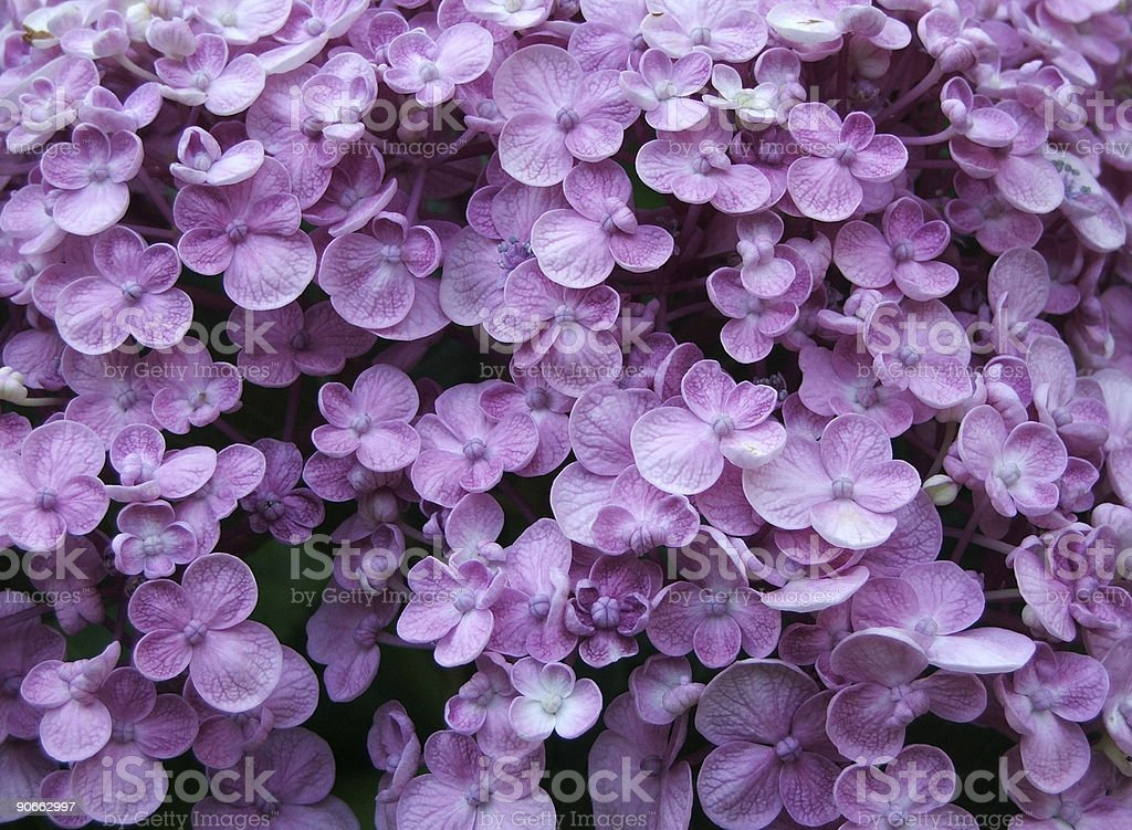 Flowers - Hydrangea royalty-free stock photo