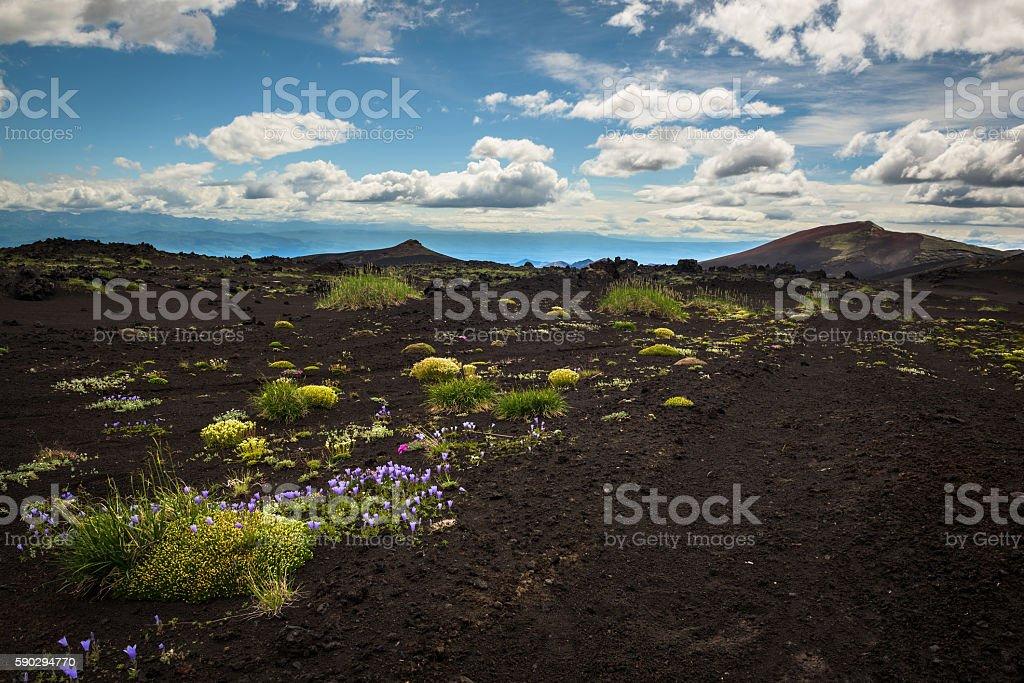 Flowers in a desert-like landscape on a Volcano royaltyfri bildbanksbilder