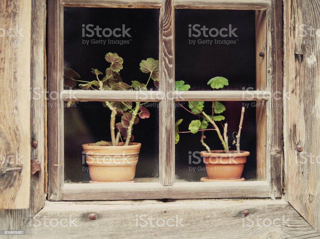 Flowers in a pot behind window on windowsill. stock photo