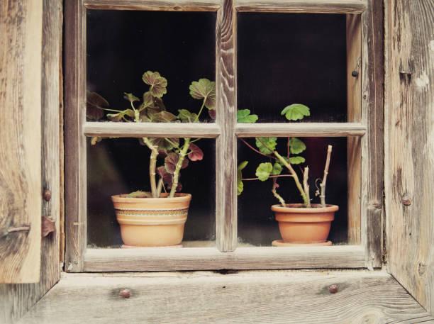 Flowers in a pot behind window on windowsill. stock photo