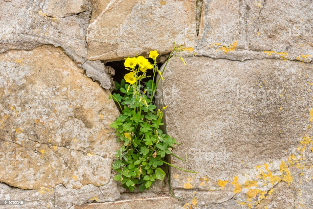 Flowers in an Ancient Stone Wall stock photo