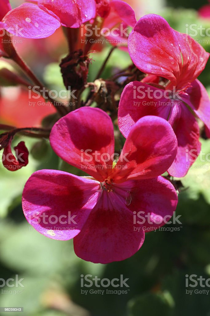 Flowers in bloom royalty-free stock photo