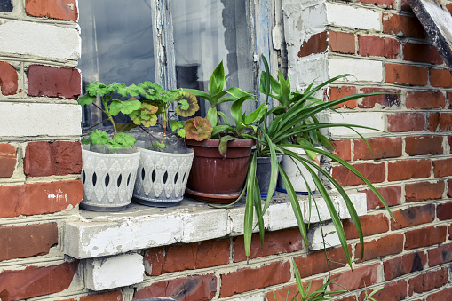 Flowers in flowerpots on a windowsill outside the house on a background of a red brick wall. Callisia fragrans, pelargonium and chlorophytum grow in pots on a window in the summer outdoors