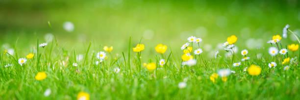 bloemen in het gras - madeliefje stockfoto's en -beelden