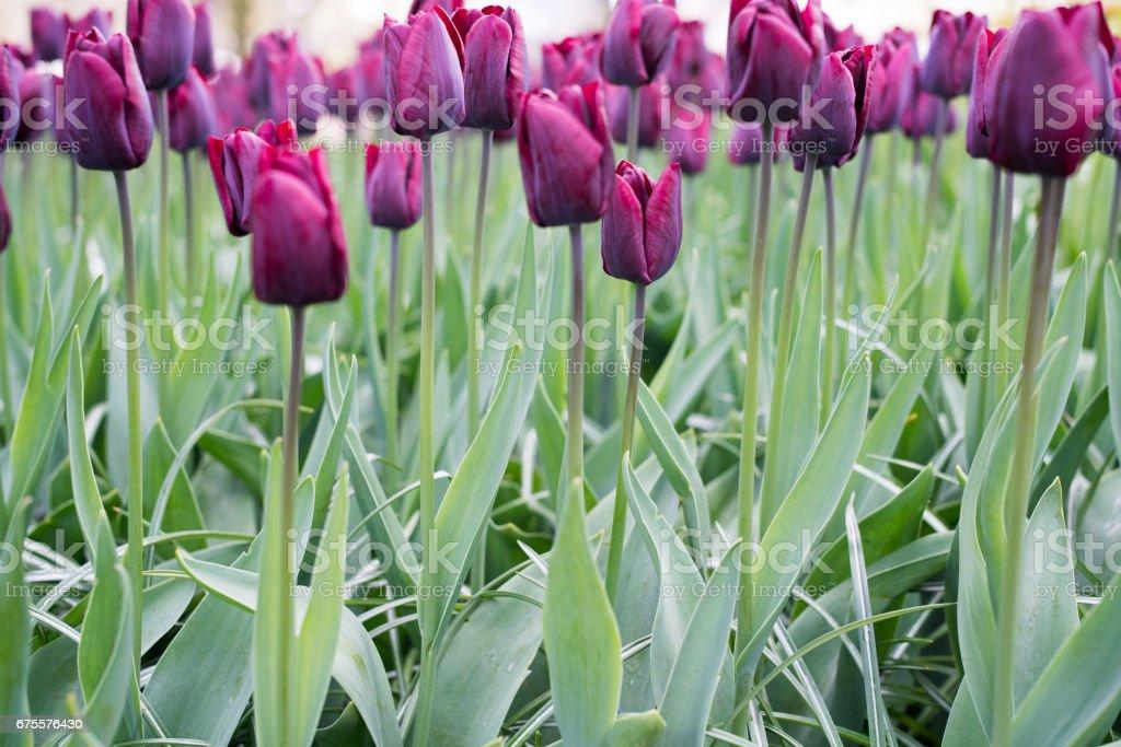 Flowers in Holland photo libre de droits