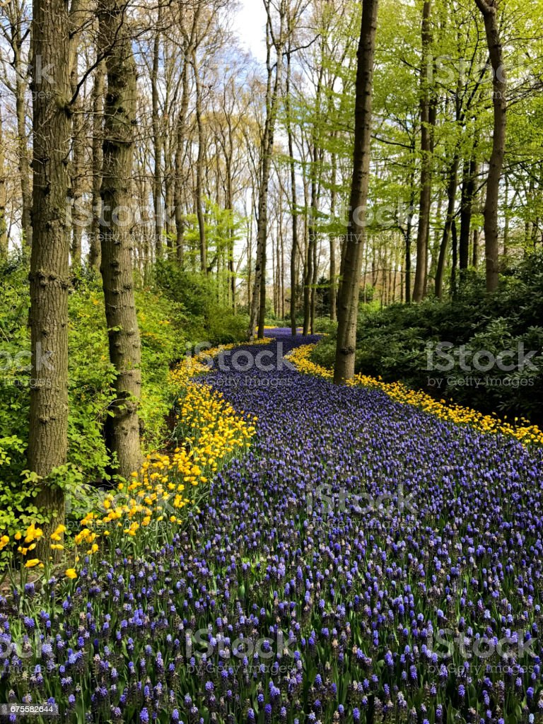 Flowers in Holland foto de stock royalty-free