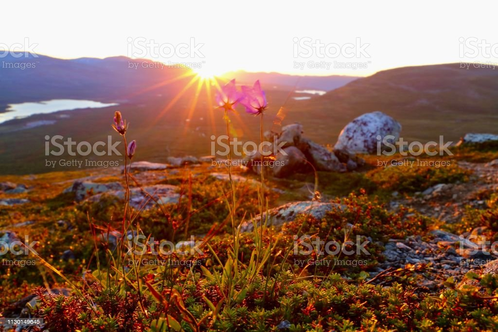Flowers in Lapland Taken on Saana mountain, Kilpisjärvi, Finland Backgrounds Stock Photo