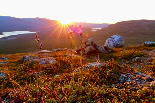 Flowers In Lapland Stock Photo - Download Image Now