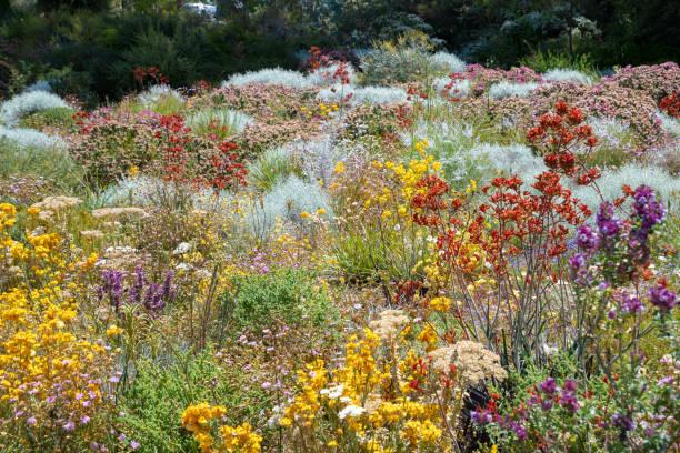 blumen in vielen farben in perth botanischen garten mit seiner sammlung von west-australien - seltene pflanzen stock-fotos und bilder