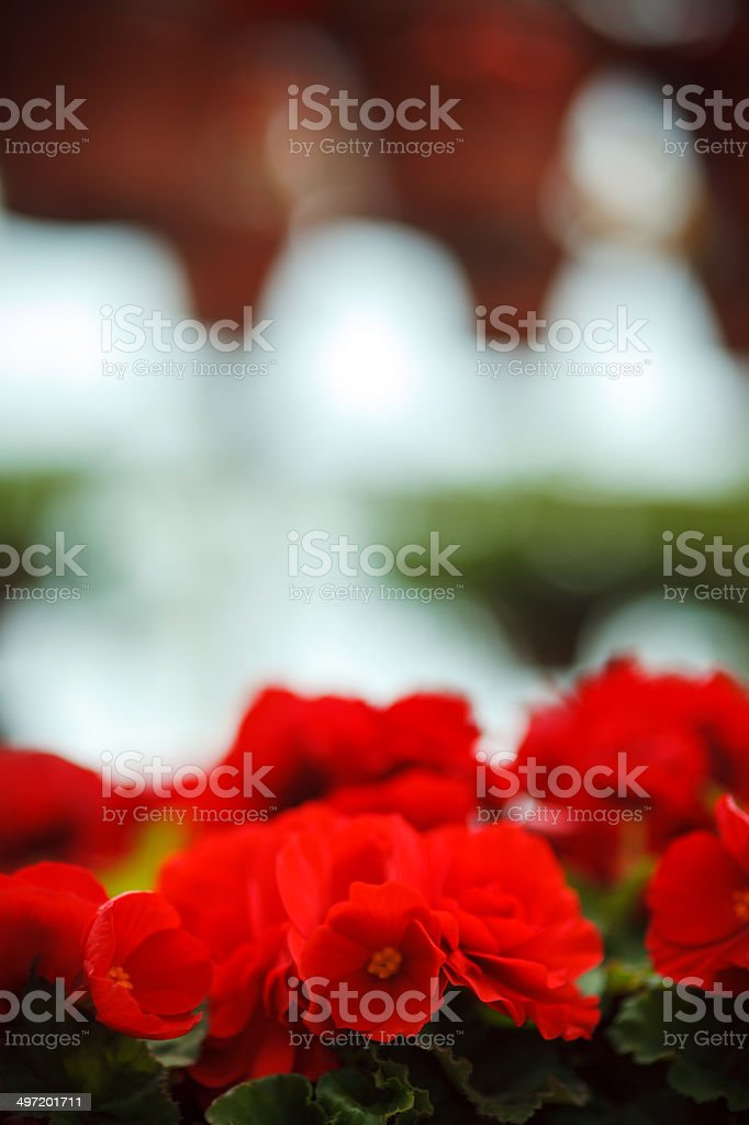 Flowers in plant nursery royalty-free stock photo