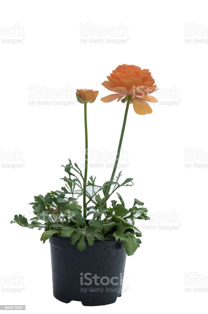 flowers in plastic pots over white stock photo