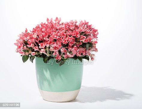 flowers in pot begonia