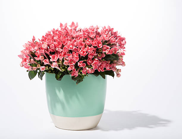 Royalty free flower pot pictures images and stock photos istock flowers in pot stock photo mightylinksfo