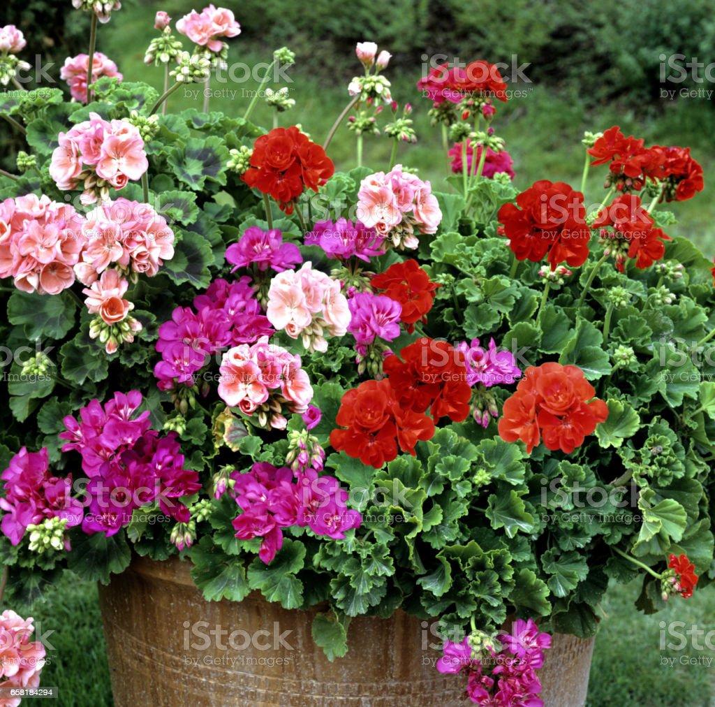 Blumen in Töpfen draußen im Garten – Foto