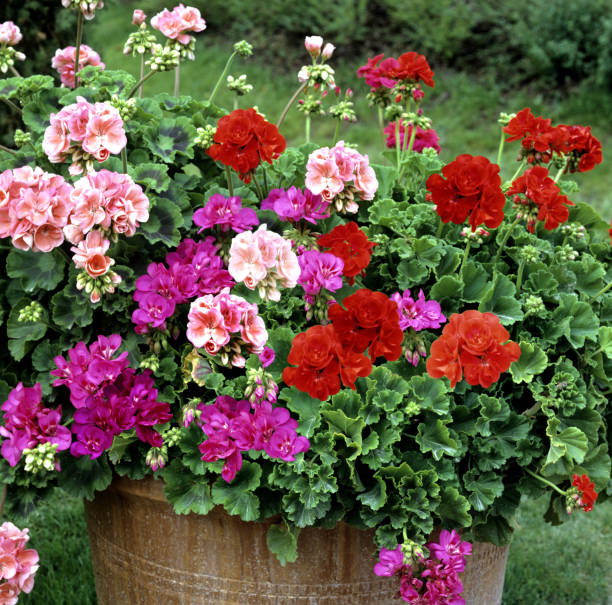 Flowers in pots outside in garden stock photo