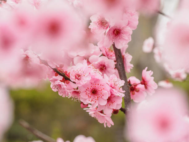 Peach Flowers In Fruit Jar Stock Photo Spring Series Beautiful Red Plum Blossoms Park With Blur Foreground And Background