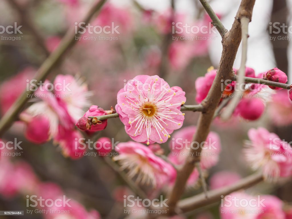 Flowers In Spring Series Plum Blossoming In Spring It Is The Only