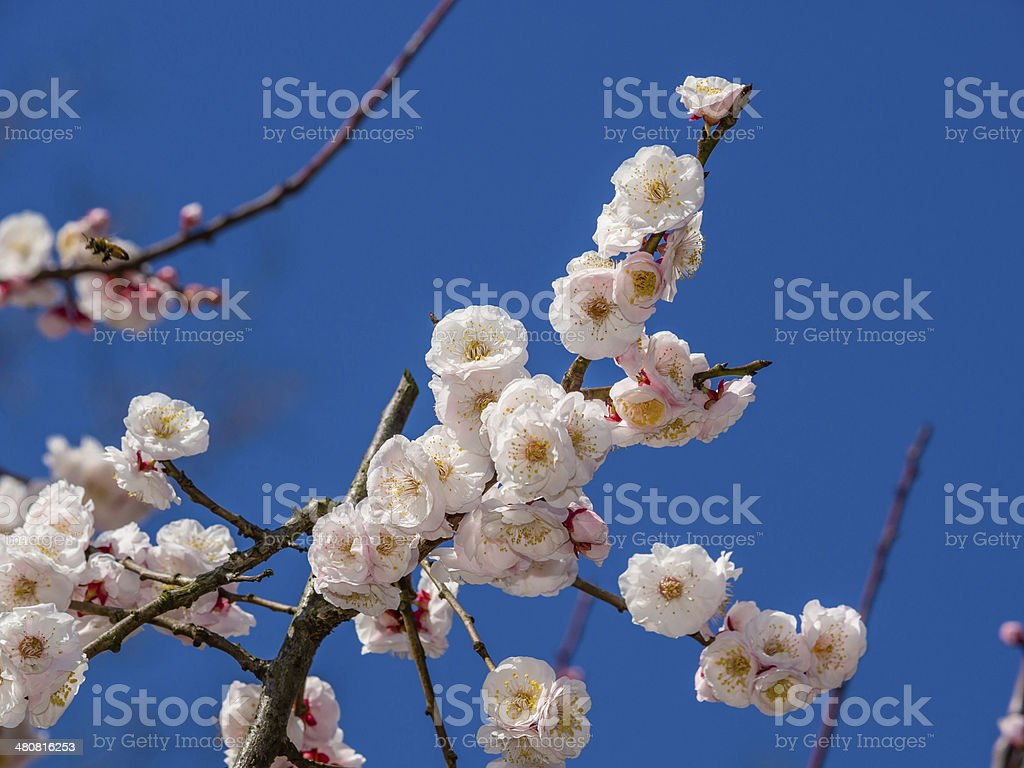 Flowers in spring series: plum blossoming in spring royalty-free stock photo