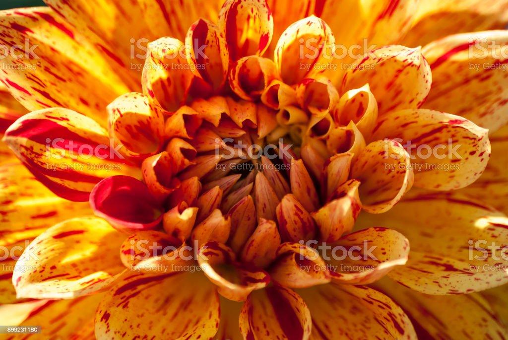 Blumen im Frühling und Sommer (Chrysantheme) – Foto