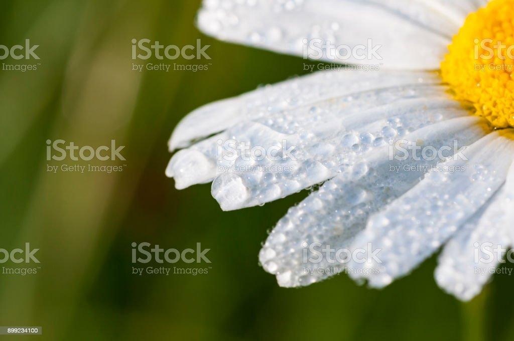Blumen im Frühling und Sommer (Aster, Asteraceae) – Foto