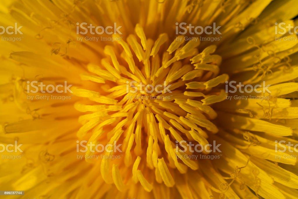Blumen im Frühling und Sommer (Löwenzahn) – Foto