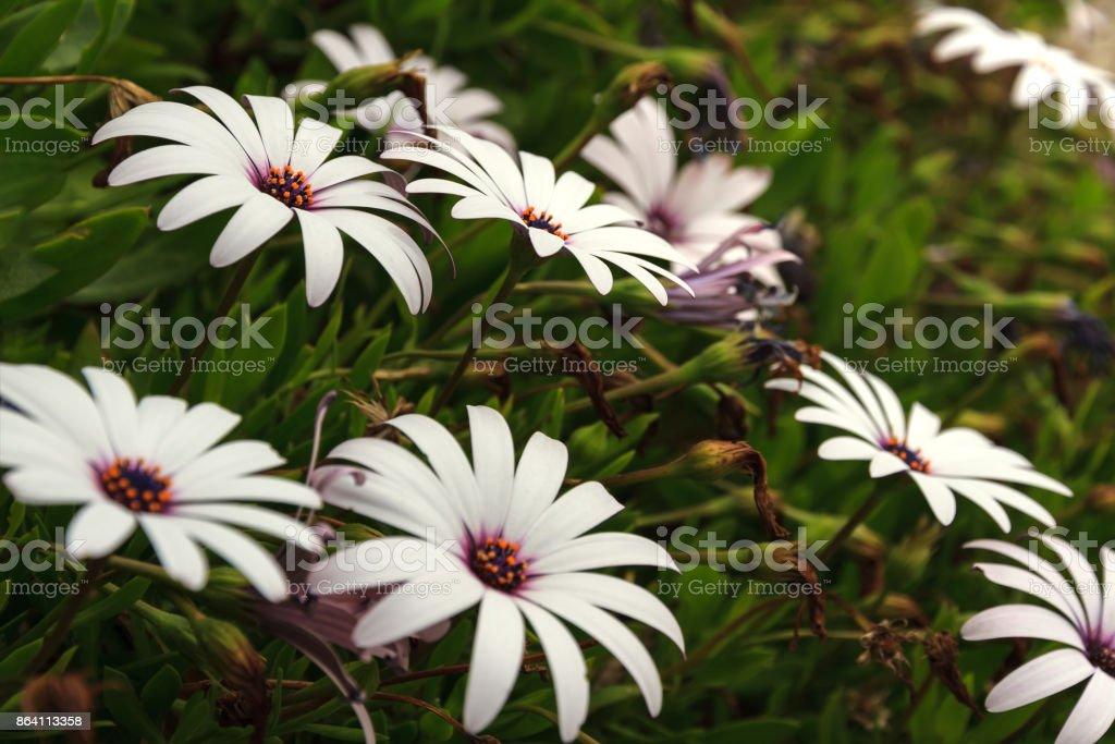 Flowers in the Botanical garden, Chrysanthemum, Daisy royalty-free stock photo
