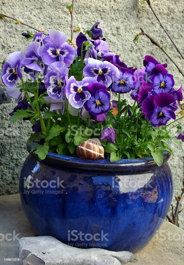 Flowers in the ceramic pot (violet pansy) royalty-free stock photo