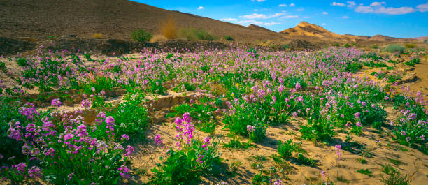 Flowers in the desert Flowering bushes in the Negev Desert, Ramon Crater, Israel negev stock pictures, royalty-free photos & images