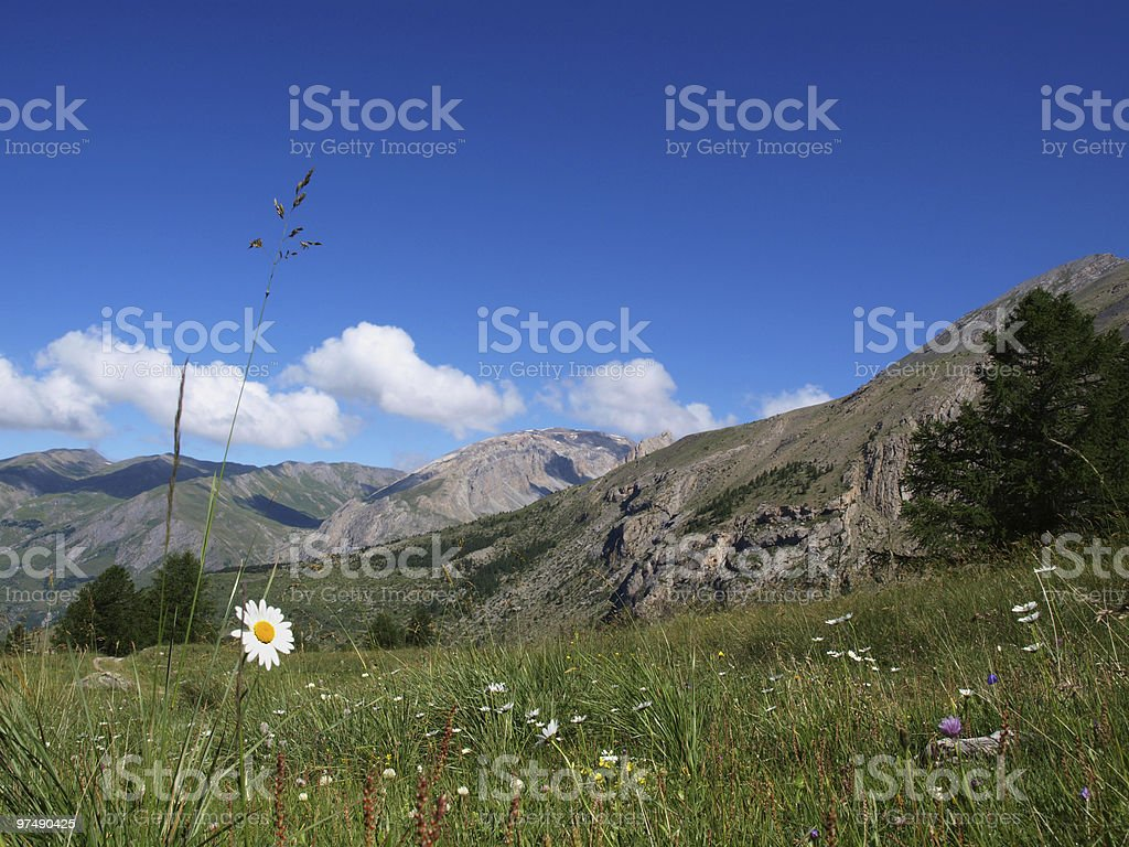 flowers in the French Alps royalty-free stock photo