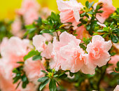 blooming tender pink azalea. fluffy pink flowers