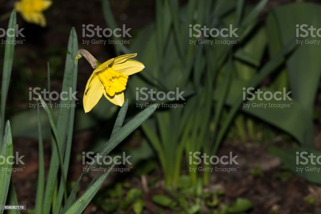 Flowers in the grass. Yellow flowers. royalty-free stock photo