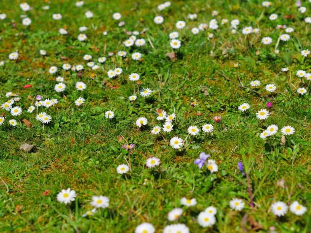 bloemen in het groene gras van een tuin - madeliefje stockfoto's en -beelden