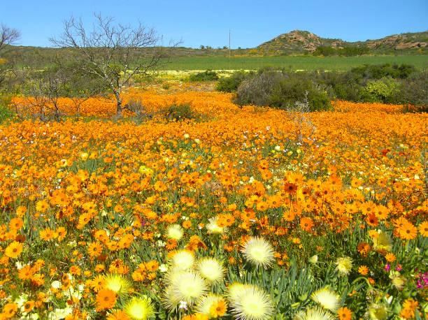 Blumen in der Wüste Namaqualand in Südafrika – Foto