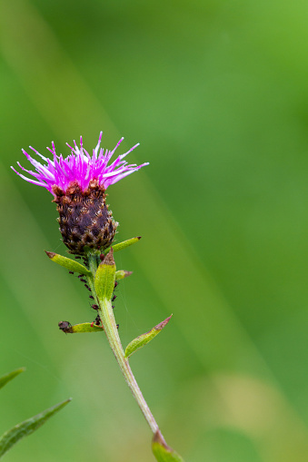 close up of a thistle bloom with out of focus green grass in the background