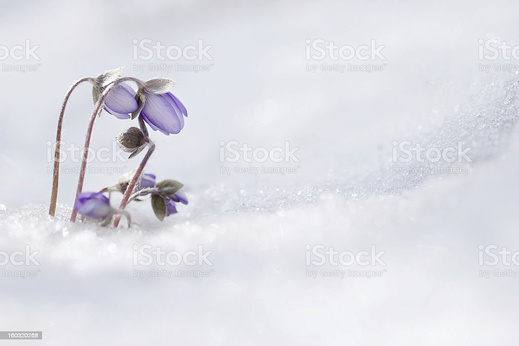 Flowers in the snow stock photo