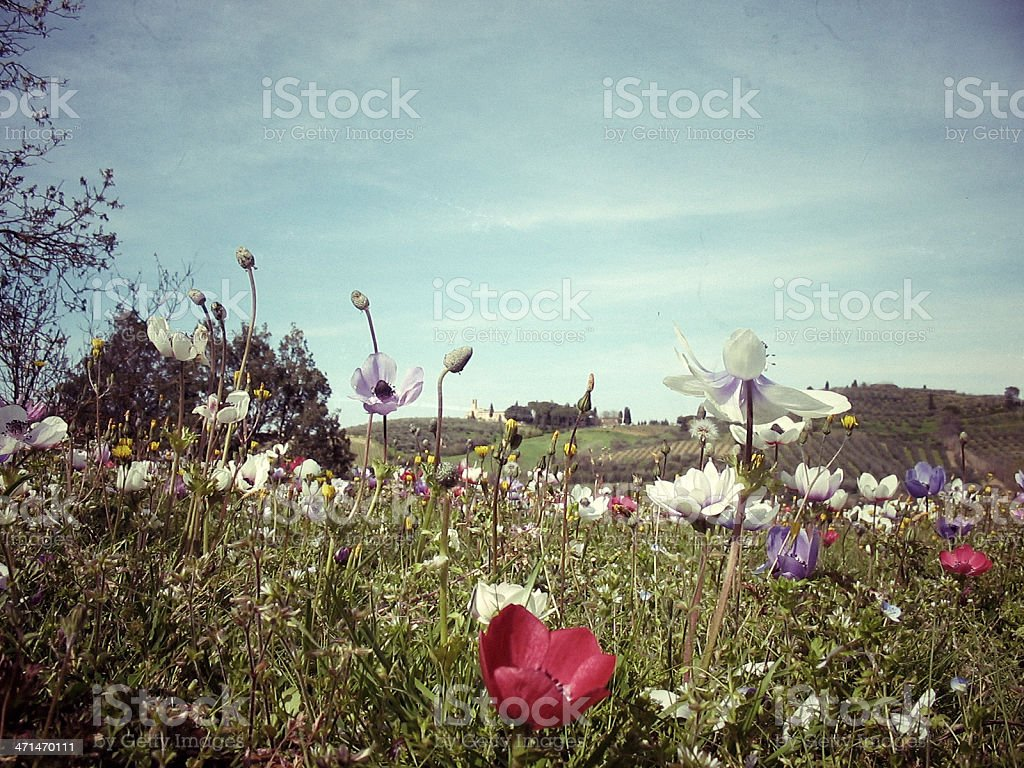 Flowers in Tuscany royalty-free stock photo