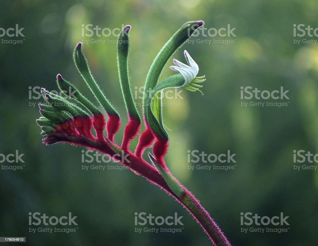 Flowers - Kangaroo Paw stock photo