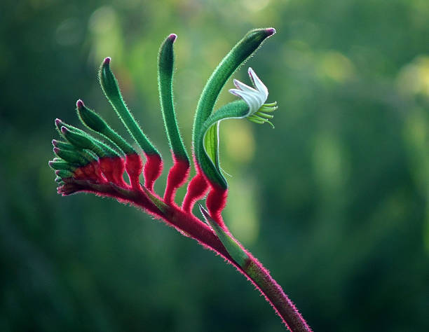 Flowers - Kangaroo Paw stock photo