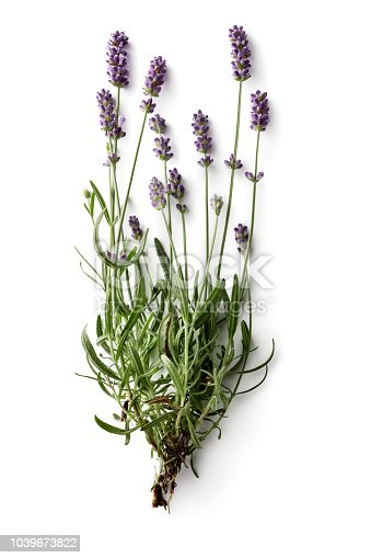 Flowers: Lavender Isolated on White Background