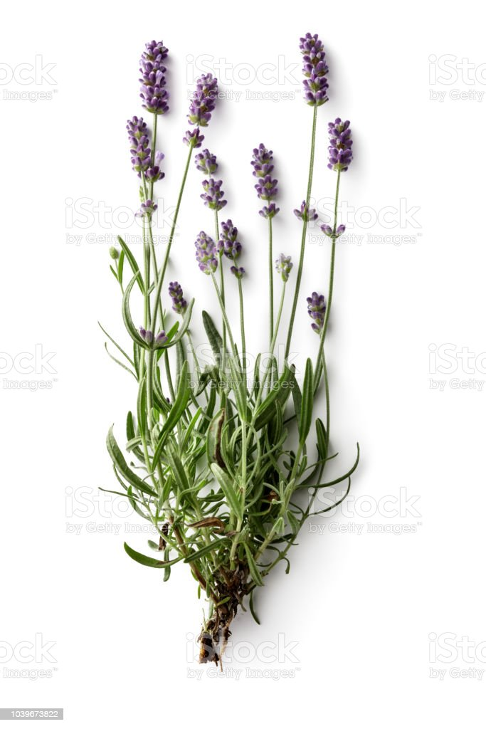 Flowers: Lavender Isolated on White Background stock photo