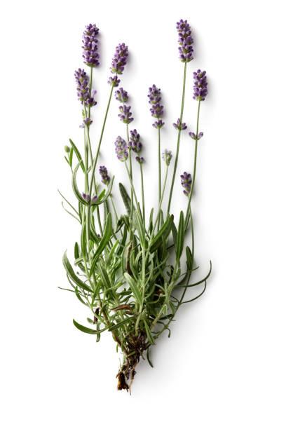 flowers: lavender isolated on white background - colore lavanda foto e immagini stock