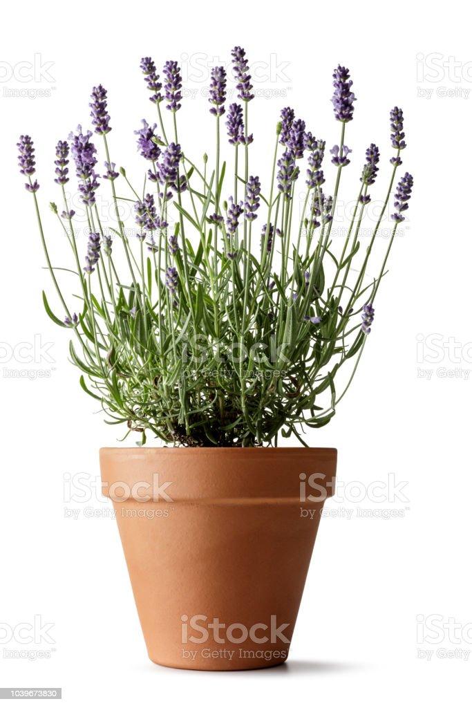 Bloemen: Lavendel geïsoleerd op witte achtergrond - Royalty-free Aromatherapie Stockfoto