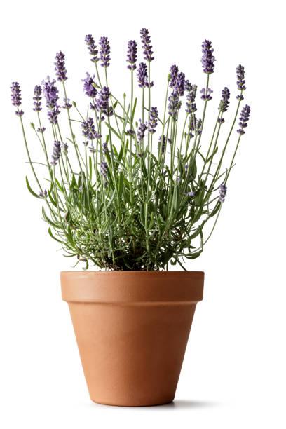 bloemen: lavendel geïsoleerd op witte achtergrond - bloempot stockfoto's en -beelden